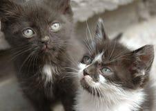 Gioco dei due un piccolo gatti Fotografie Stock