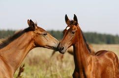 Gioco dei Foals Immagini Stock Libere da Diritti