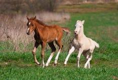 Gioco dei foals del cavallino di lingua gallese Immagine Stock Libera da Diritti