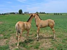 Gioco dei foals del cavallo quarto Fotografie Stock Libere da Diritti