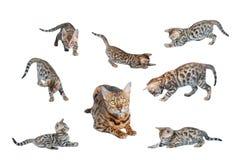 Gioco dei gattini del Bengala isolato Fotografie Stock