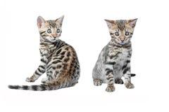 Gioco dei gattini del Bengala isolato Fotografia Stock