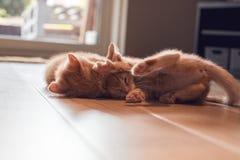 Gioco dei gattini dello zenzero Fotografia Stock