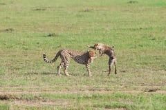 Gioco dei ghepardi a Mara masai Immagini Stock