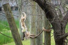 Gioco dei gibboni Fotografie Stock Libere da Diritti