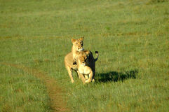 Gioco dei leoni Fotografia Stock Libera da Diritti