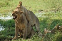 Gioco dei leoni Fotografie Stock