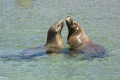 Gioco dei leoni di mare Fotografie Stock Libere da Diritti