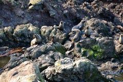 Gioco dei leoni marini della Nuova Zelanda fotografia stock libera da diritti