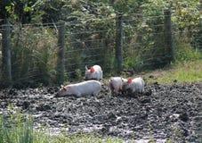 Gioco dei porcellini Fotografia Stock Libera da Diritti