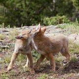 Gioco dei pups del coyote Immagine Stock