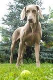 Gioco del cane Fotografia Stock