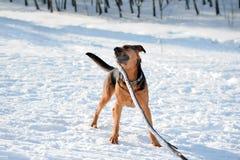 Gioco del cane Immagini Stock Libere da Diritti