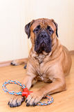 Gioco del cane con il giocattolo Immagine Stock