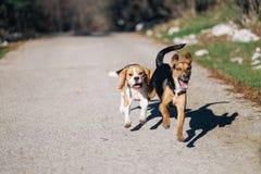 Gioco del cane da lepre fotografie stock libere da diritti