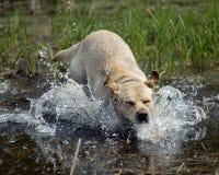 Gioco del cane del Labrador Immagine Stock