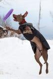 Gioco del cane di Weimaraner Immagine Stock
