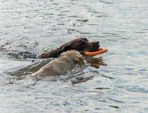 Gioco del cane e del cucciolo in acqua Immagini Stock