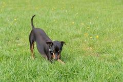 Gioco del cane nel prato Fotografia Stock