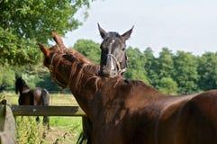 Gioco del cavallo Fotografie Stock Libere da Diritti