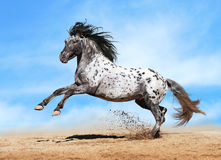 Gioco del cavallo di Appaloosa in estate Fotografie Stock