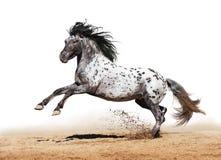 Gioco del cavallo di Appaloosa in estate Fotografie Stock Libere da Diritti