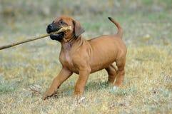 Gioco del cucciolo Fotografia Stock