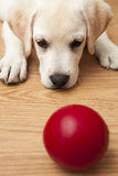 Gioco del cucciolo del Labrador Immagine Stock
