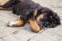 Gioco del cucciolo del mastino tibetano Immagini Stock