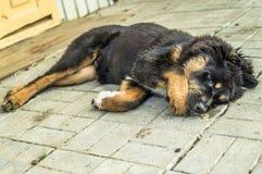 Gioco del cucciolo del mastino tibetano Fotografie Stock