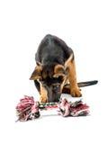 Gioco del cucciolo del pastore tedesco Immagine Stock Libera da Diritti