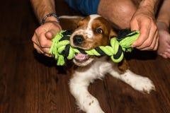 Gioco del cucciolo dello spaniel inglese da salto Fotografia Stock Libera da Diritti