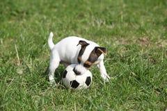Gioco del cucciolo di Jack Russell Terrier fotografie stock libere da diritti