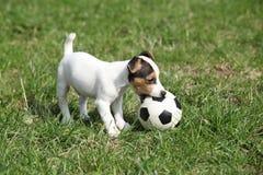 Gioco del cucciolo di Jack Russell Terrier fotografia stock