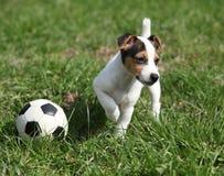 Gioco del cucciolo di Jack Russell Terrier immagini stock