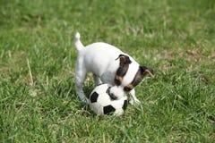 Gioco del cucciolo di Jack Russell Terrier fotografie stock