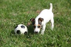 Gioco del cucciolo di Jack Russell Terrier immagine stock libera da diritti