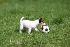 Gioco del cucciolo di Jack Russell Terrier fotografia stock libera da diritti