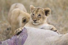Gioco del cucciolo di leone Immagine Stock Libera da Diritti