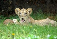Gioco del cucciolo di leone fotografia stock libera da diritti
