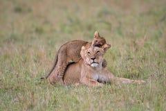 Gioco del cucciolo e della leonessa fotografia stock