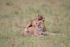 Gioco del cucciolo e della leonessa immagine stock