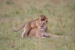 Gioco del cucciolo e della leonessa fotografia stock libera da diritti