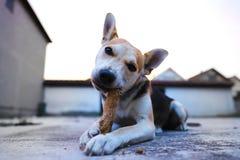 Gioco del cucciolo nell'iarda con il bastone fotografia stock libera da diritti