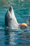 Gioco del delfino di Bottle-nose fotografia stock libera da diritti
