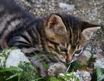 Gioco del gattino Immagine Stock