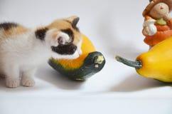 Gioco del gattino con la zucca, zucca Fotografie Stock