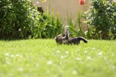 Gioco del gattino del giardino Fotografie Stock Libere da Diritti