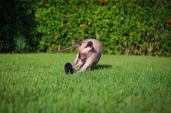 Gioco del gatto Immagini Stock