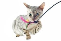 Gioco del gatto del Bengala Fotografia Stock